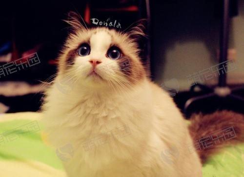 布偶猫有哪些优点?为什么这么多人养