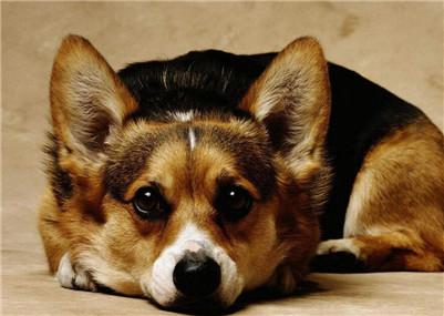 柯基犬皮肤病怎么治疗?柯基犬生病该怎么办?